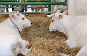 chianina-vacca