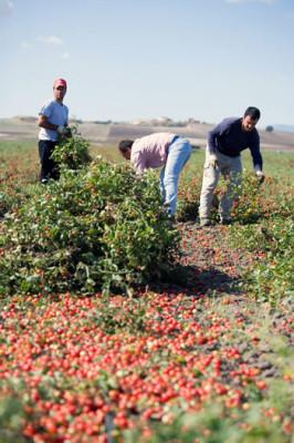 raccolta_pomodori