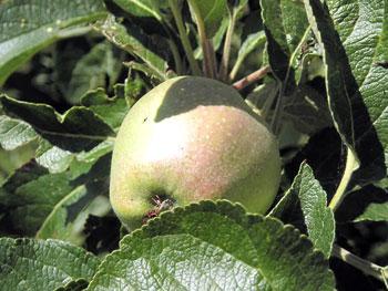 La mela conventina