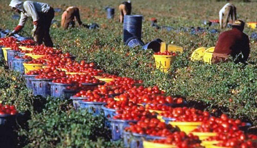 Agricoltura-e-caporalato-(Foto-archivio)-raccolta-pomodori