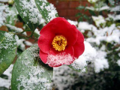 Neve a primavera. Fiore sotto la neve